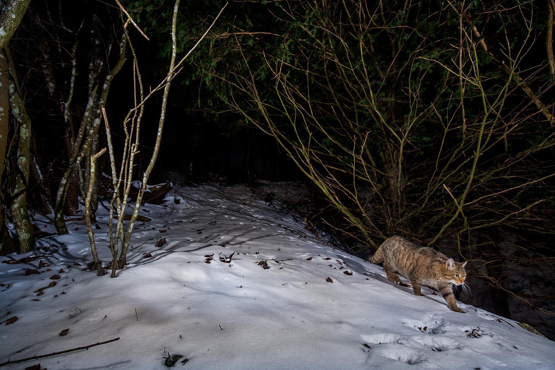 Le chat du Jura
